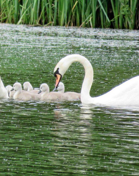 8-swans